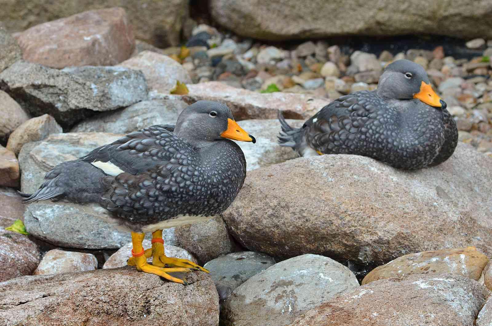 two gray fuegian steamer ducks with orange beaks