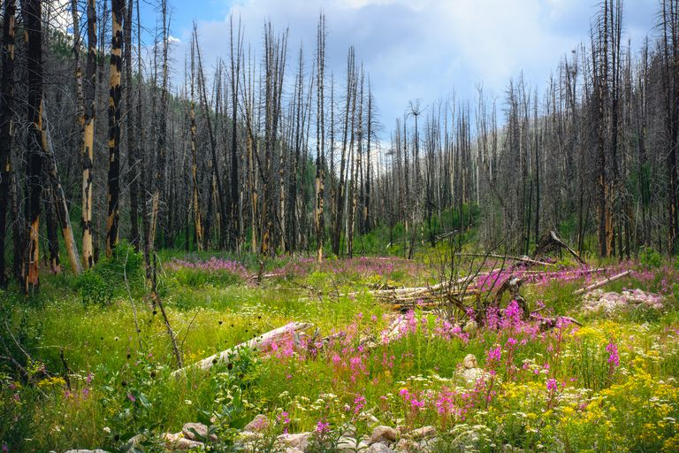 Burnt trees and a meadow with wildflowers.
