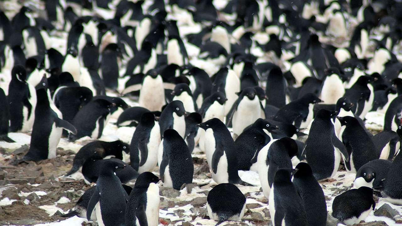 Penguin crowd