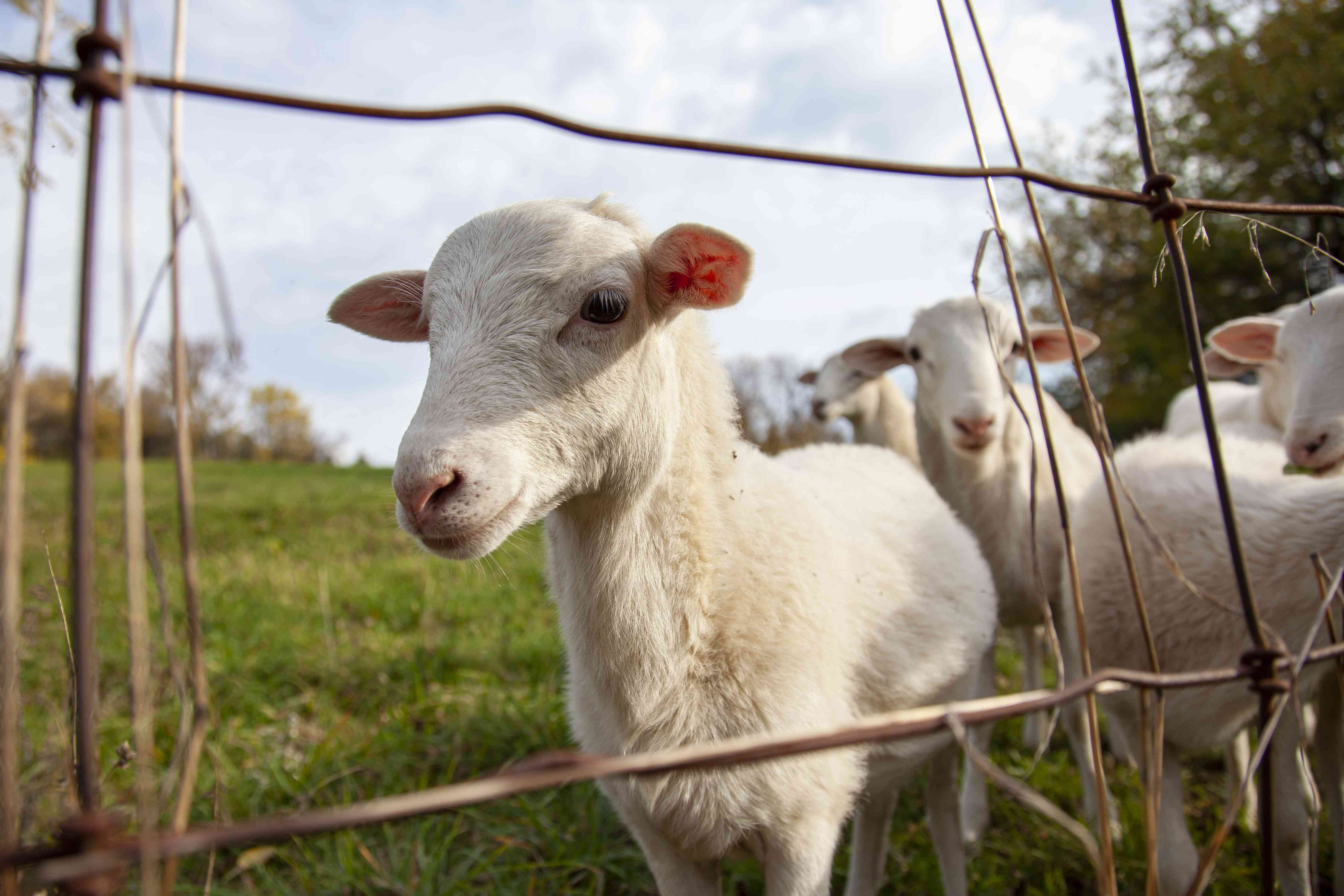 white goats peek through wire fence in field