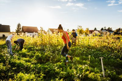 A group of gardeners tending to and maintaining some small organic crops together in the afternoon sun.