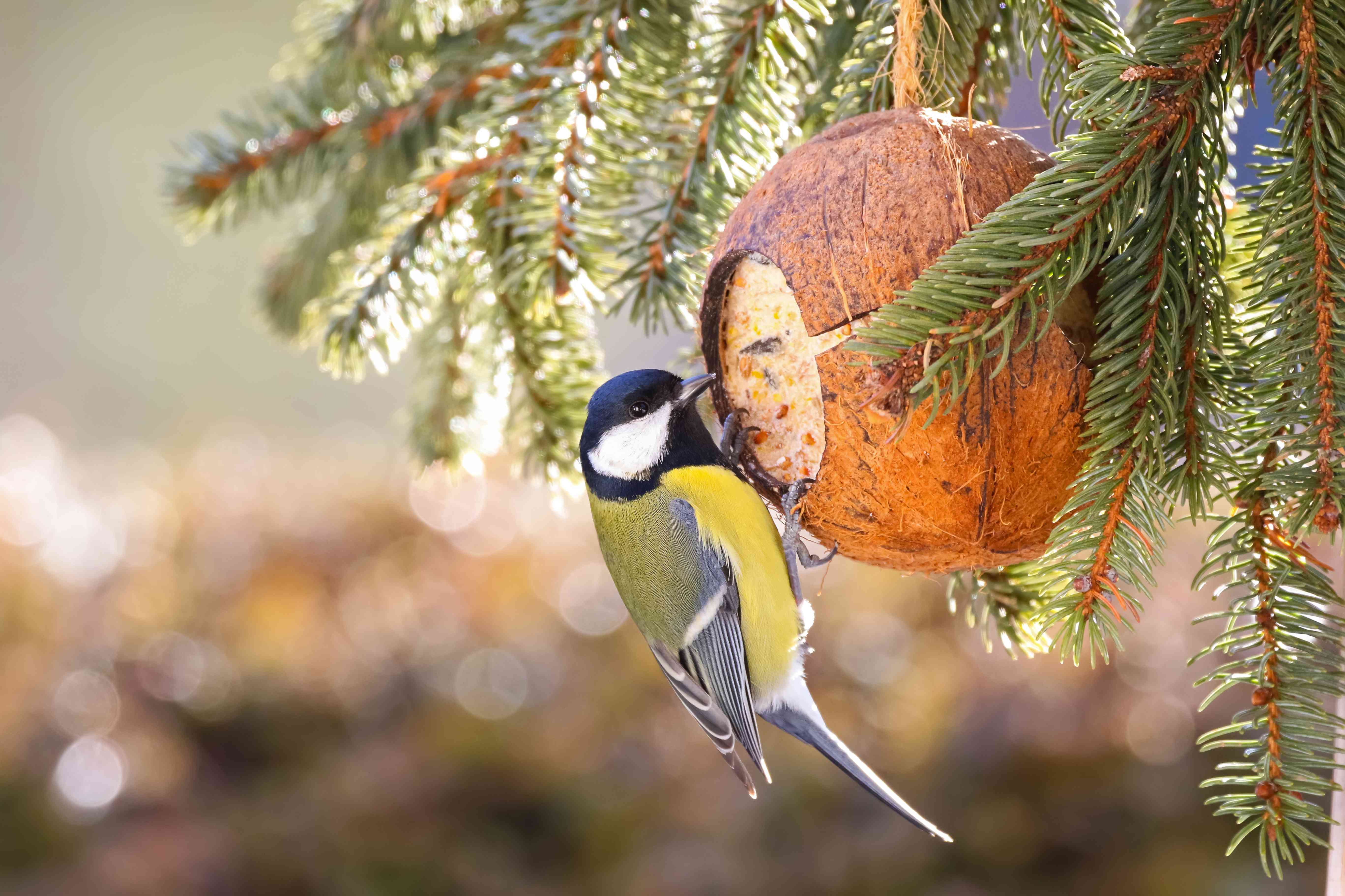 A great tit eating from a coconut feeder.