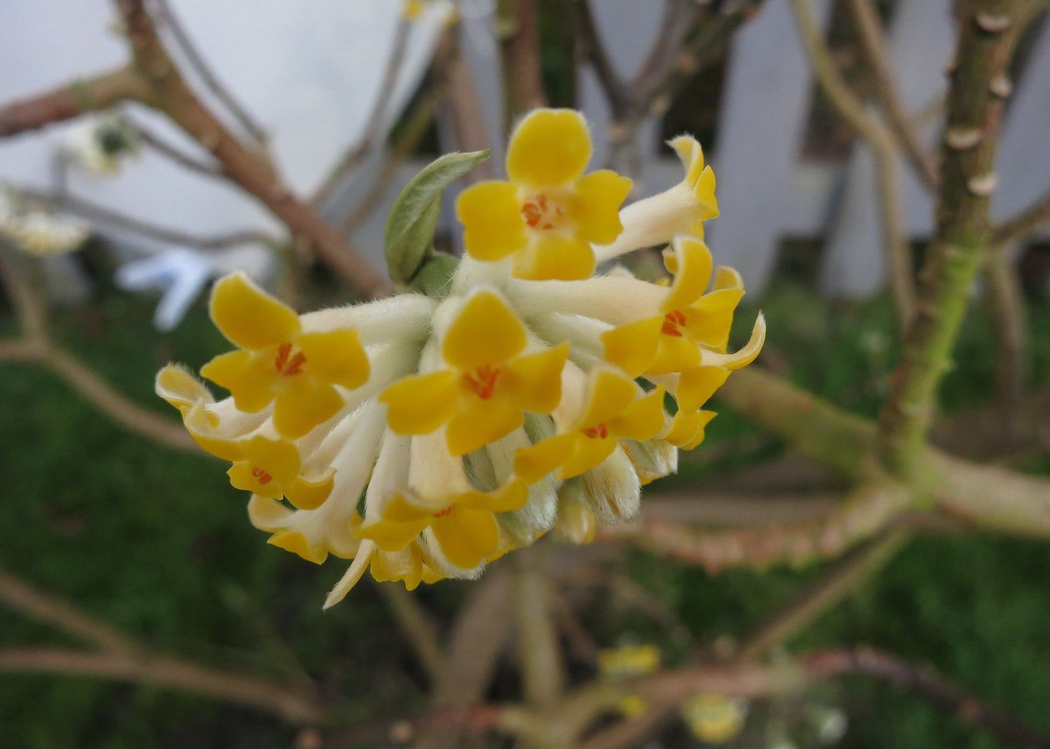 A spherical cluster of small yellow flowers grows on a paperbush tree