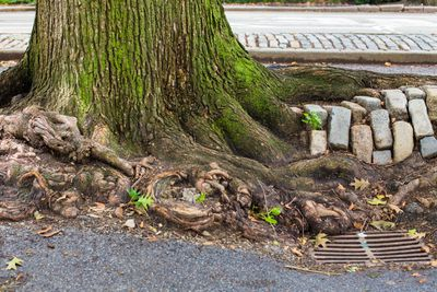 Tree roots growing in asphalt and under bricks.