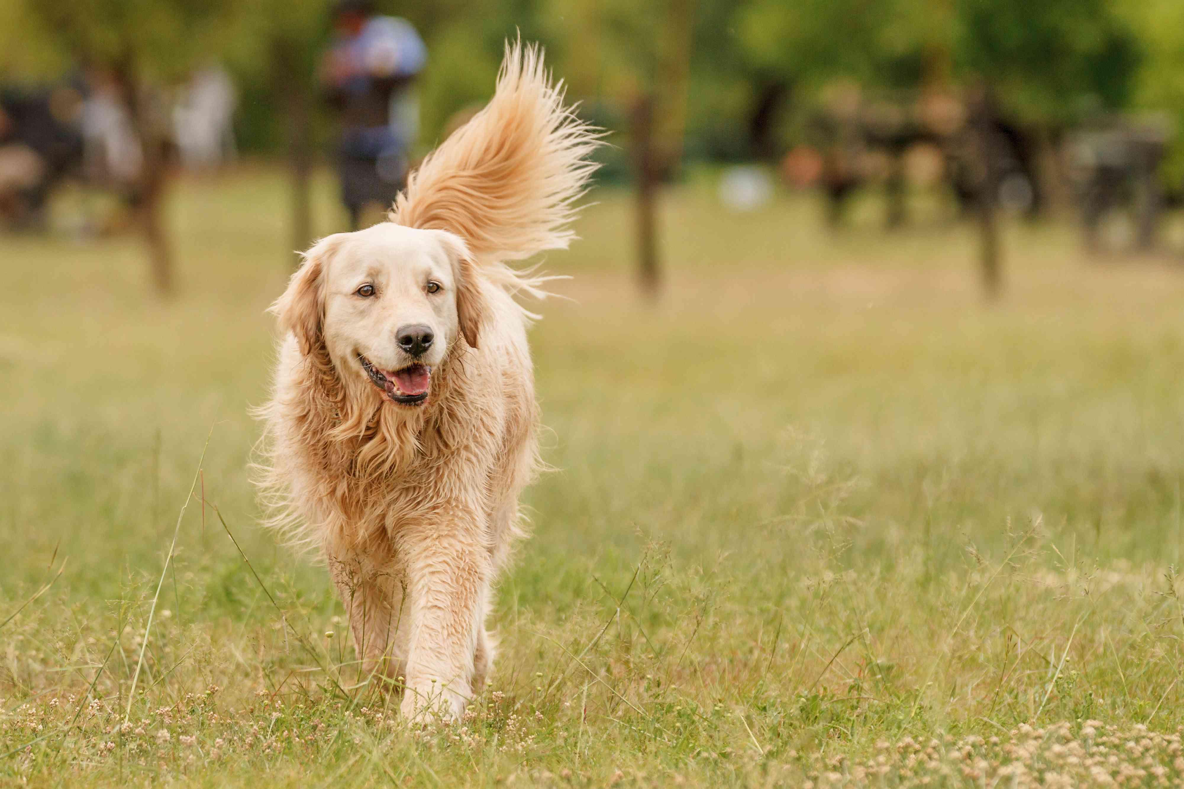 Golden retriever walking through grassy field