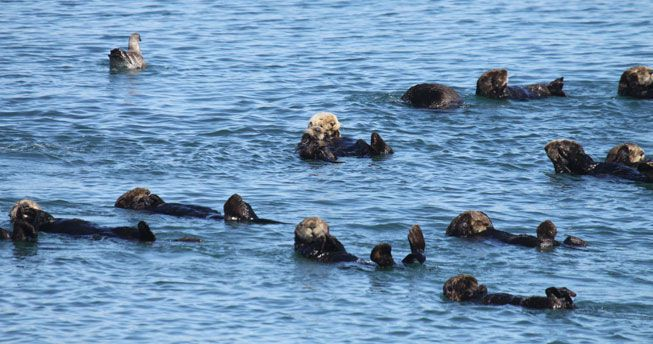 A group of sea otters float in the waters of Moss Landing
