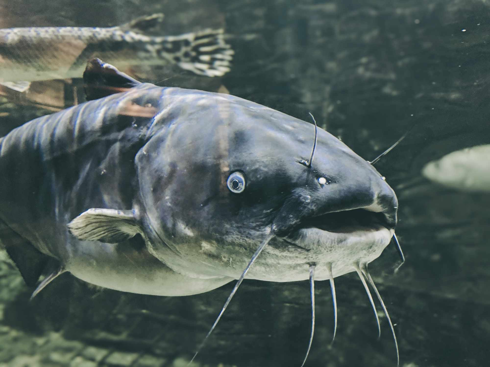 A large blue catfish just below the water's surface.