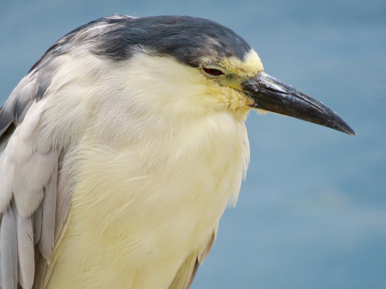 Close up of a black crowned night heron