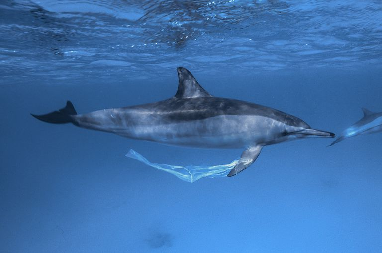 dolphin with bag on its fin