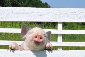 pink pig peers through white fence