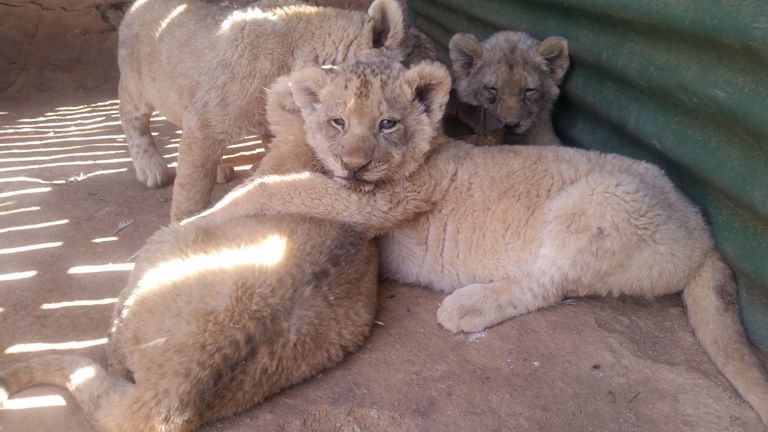 captive lion cubs at a farm in South Africa