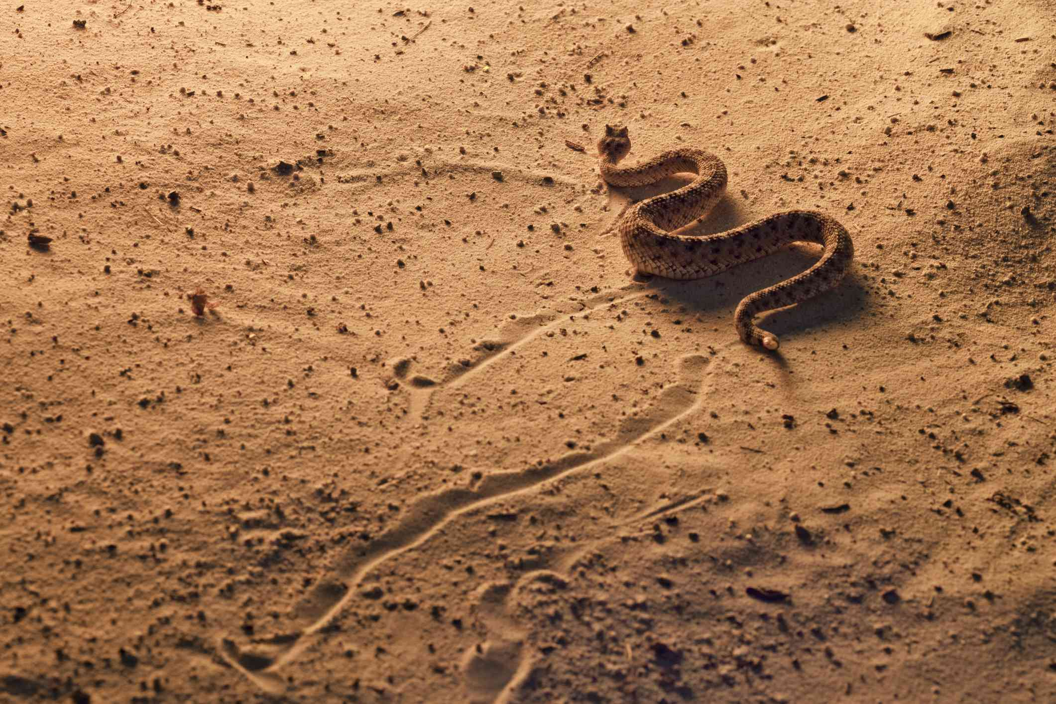 Sidewinder Rattlesnake, Crotalus cerastes, Southern Arizona. Side-winding locomotion across sand dunes at sunset. Controlled situation.
