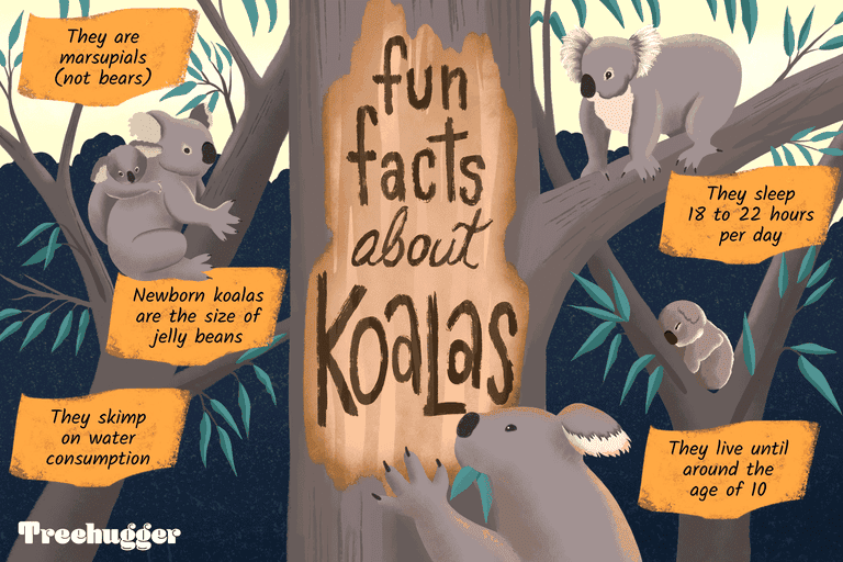 things you didn't know about koalas illo