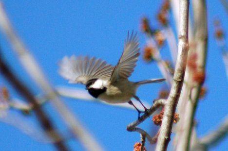 chickadee flying blur photo
