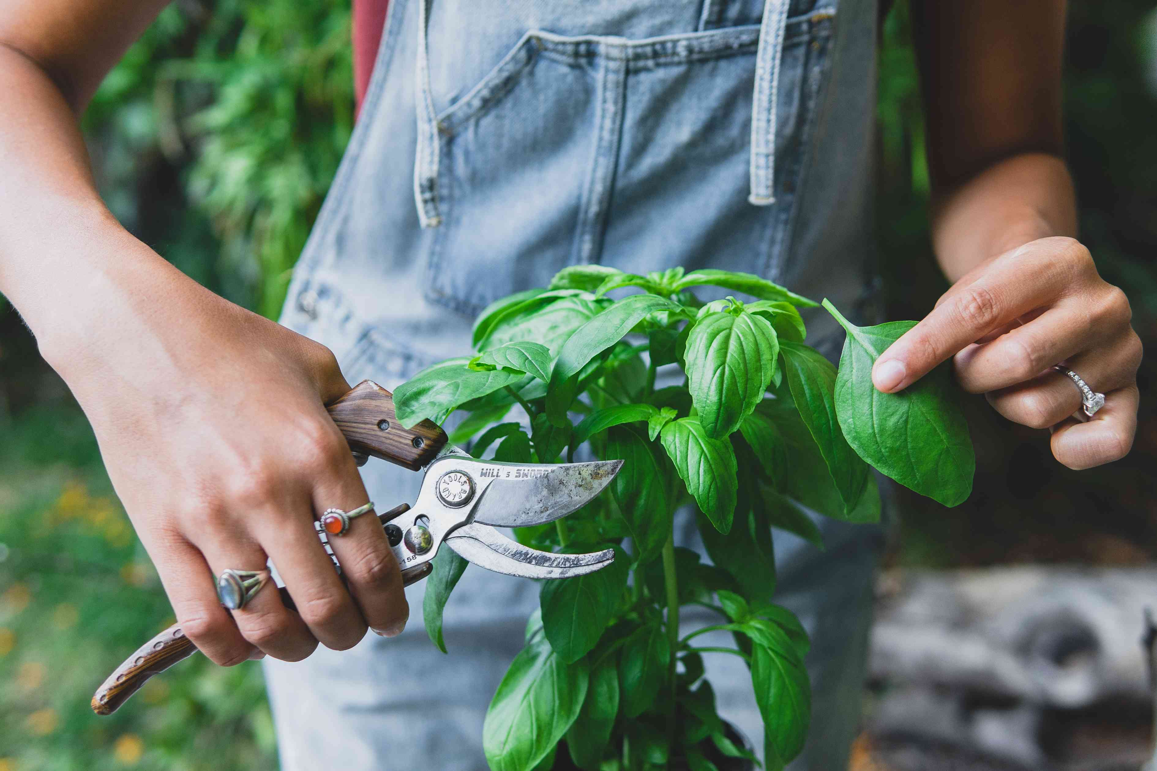 person in denim overalls picks off basil leaf from plant