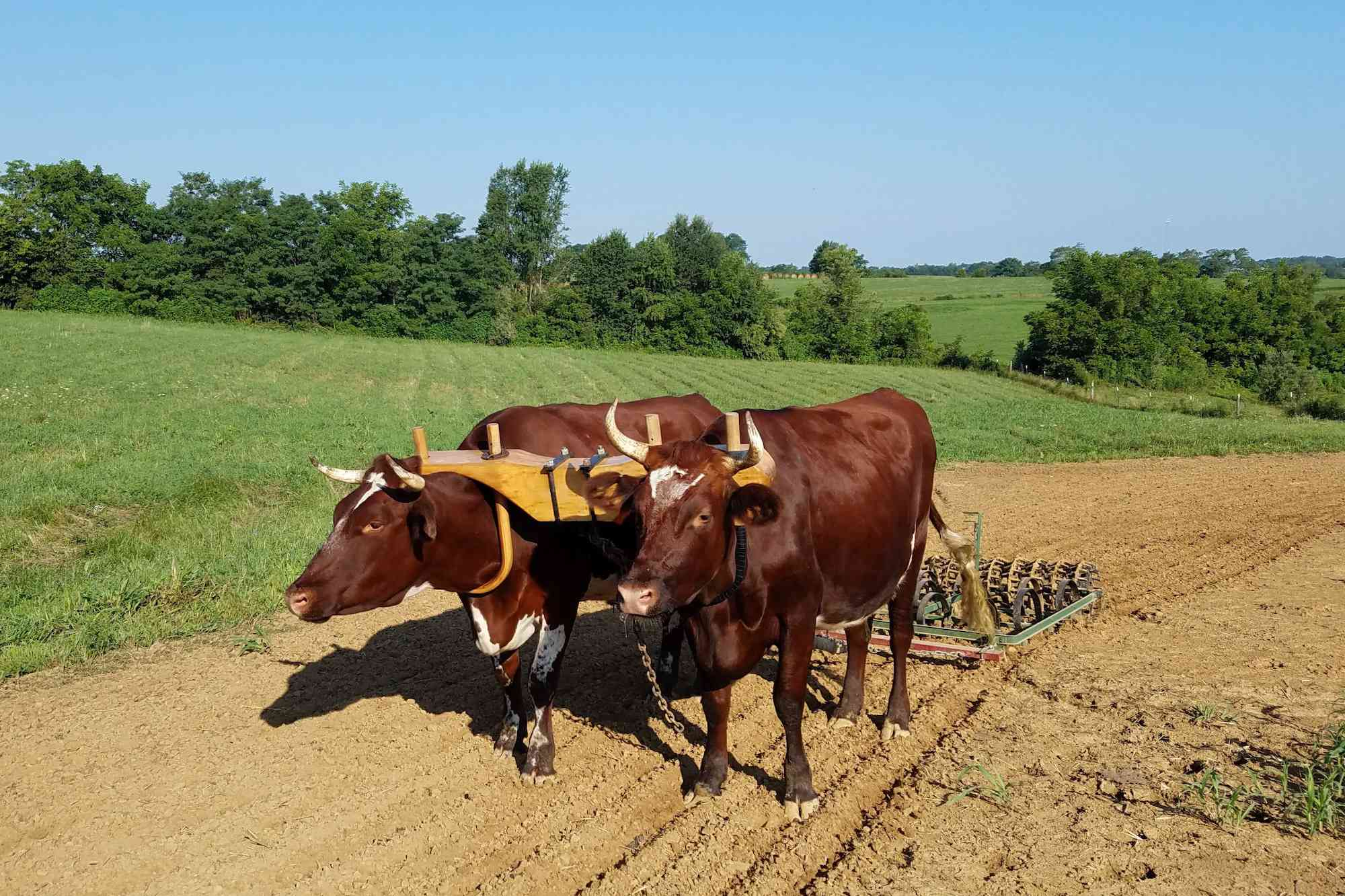 oxen ploughing field