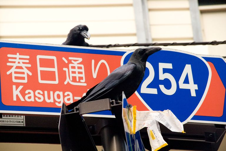 urban crows in Japan