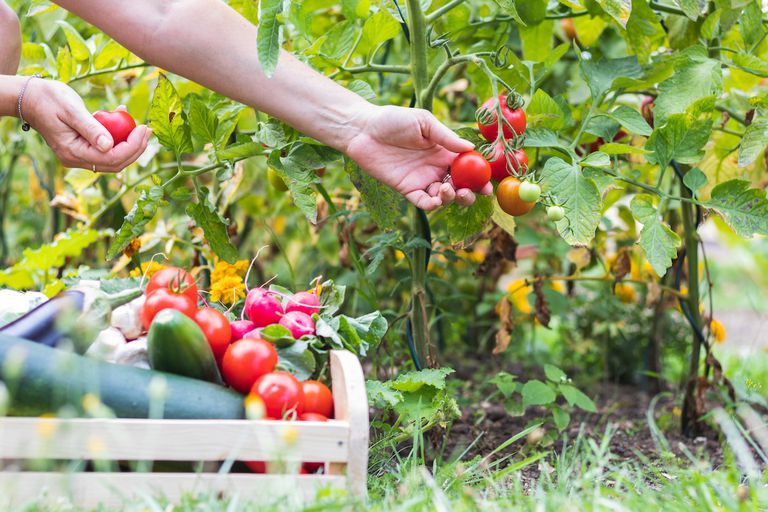 Female hands picking fresh tomatoes to wooden crate with vegetables. - stock photo