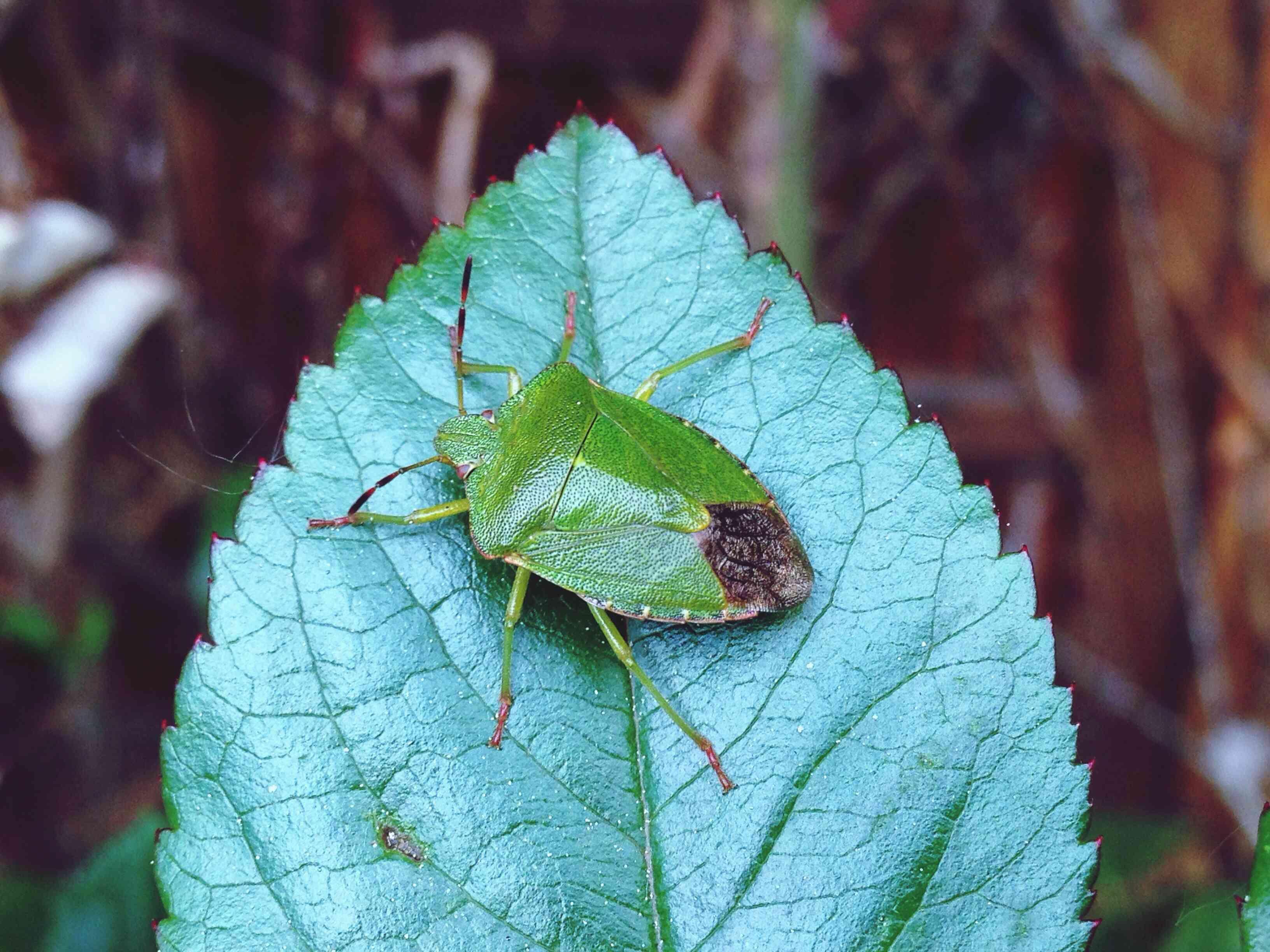 Green stink bug on a leaf