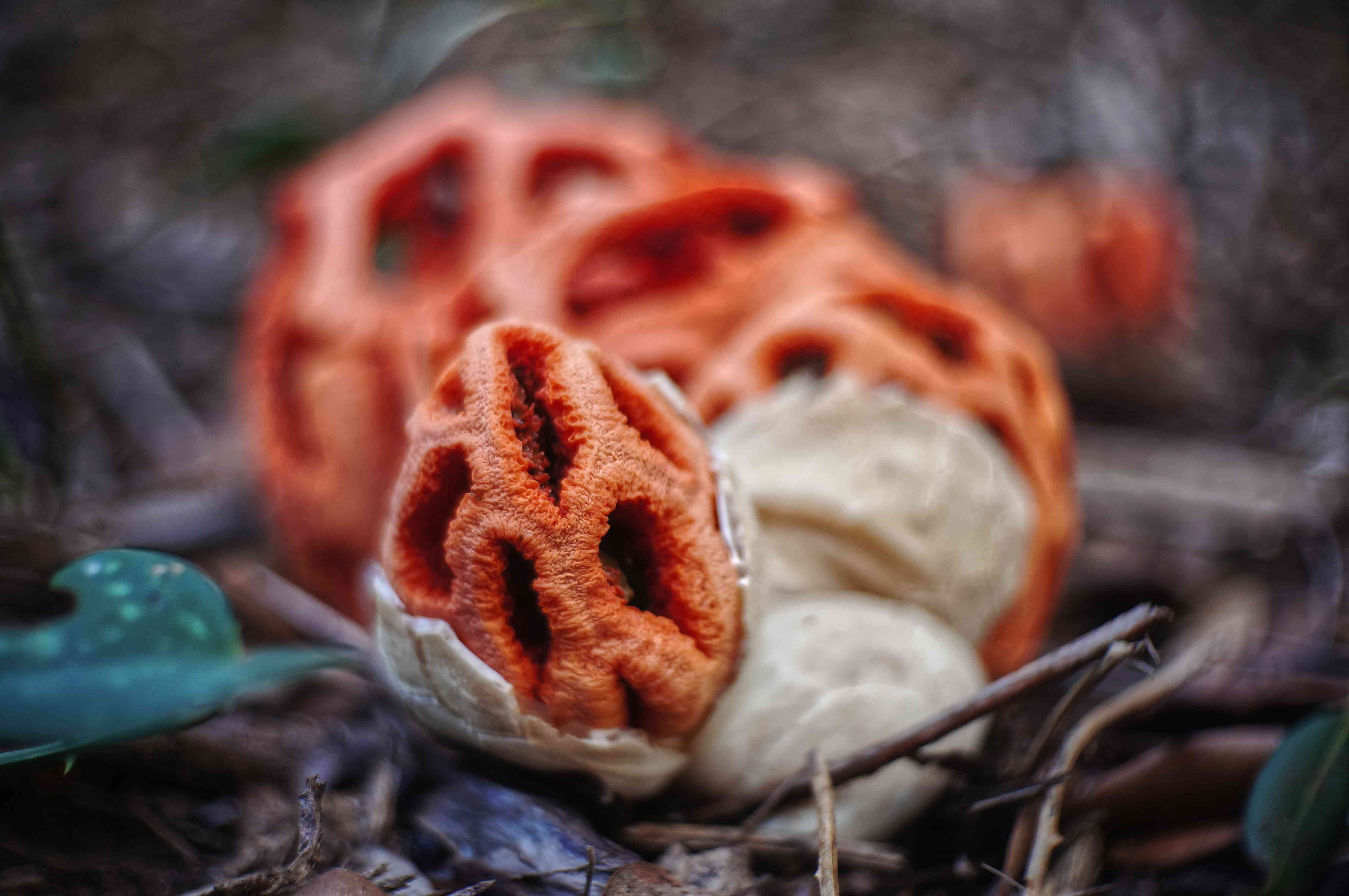 Close-up of a red latticed stinkhorn mushroom growing from ground