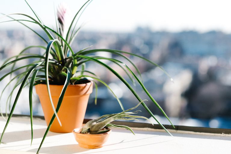 houseplant sits in sunny windowsill during winter
