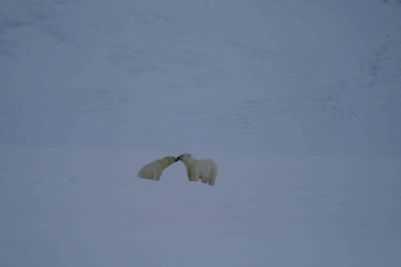 Last winter, they had more than 50 close polar bear sightings.