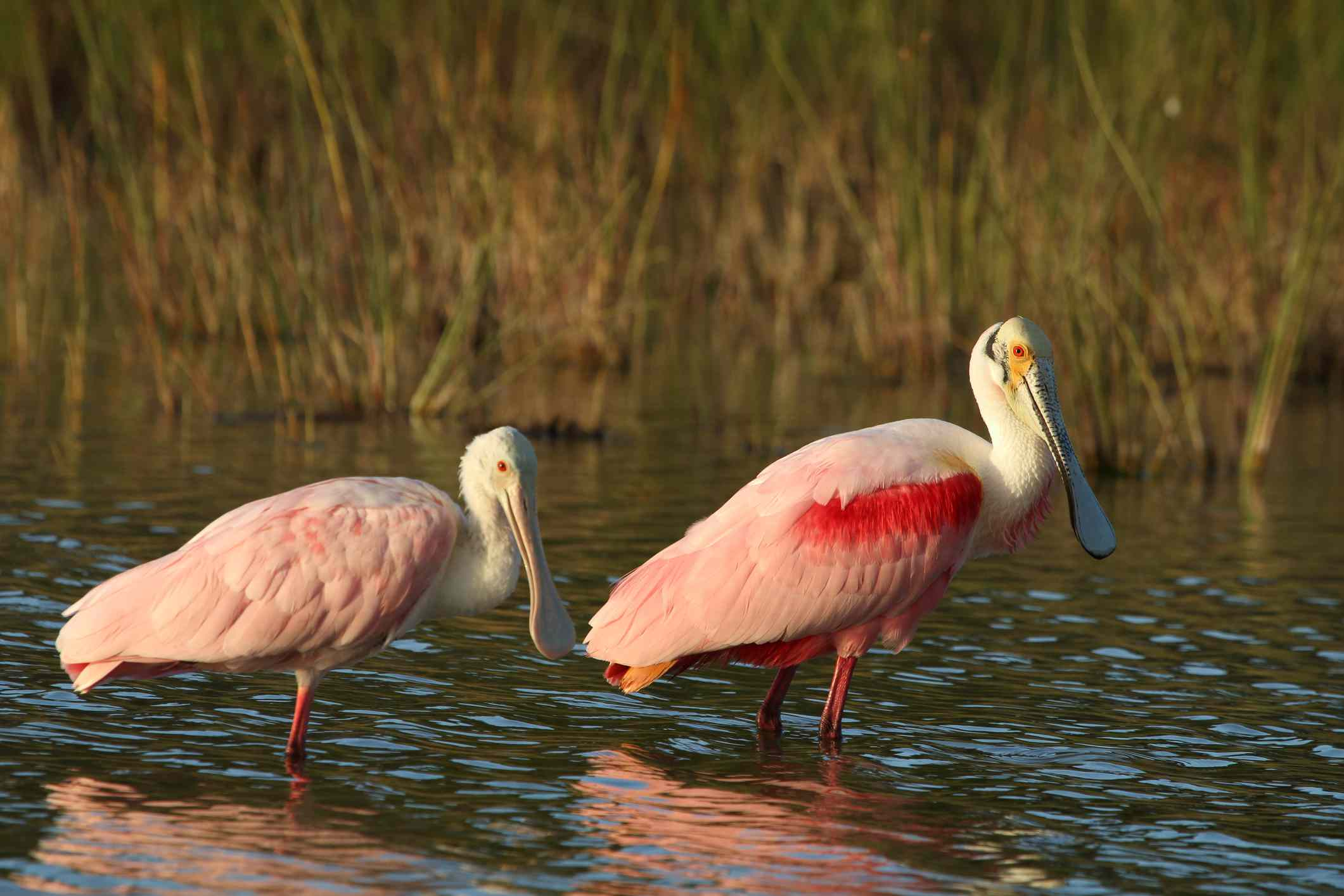 pair of pink roseate spoonbills wading in the water at Everglades National Park, Florida