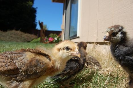 Pablo's Chicks image