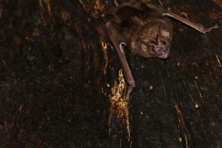 A vampire bat like the ones in a study looking at bat relationships.