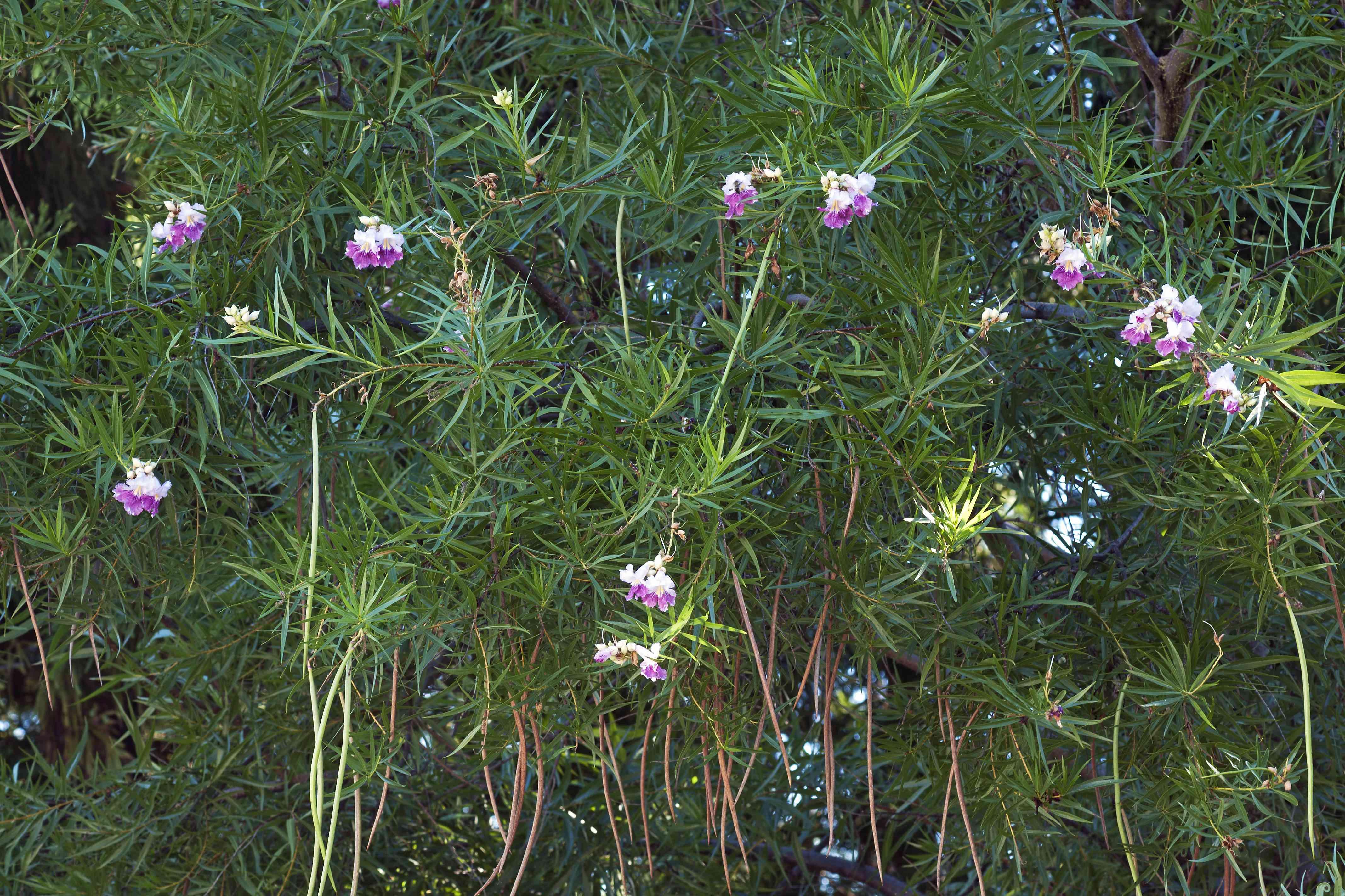 Desert Willow (Chilopsis linearis)