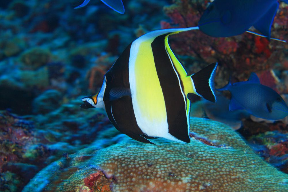 A black, white, and yellow Moorish idol swimming on a coral reef