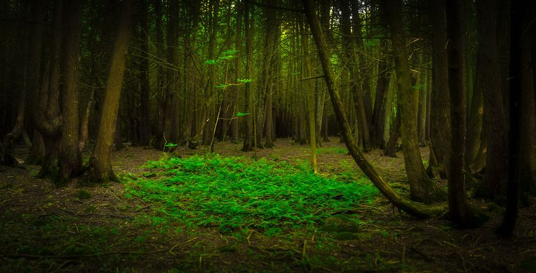 Clearing in a dark forest full of towering trees