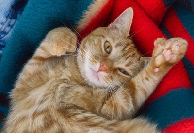 Cute orange polydactyl cat looking at camera