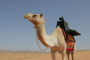 Sarha the camel