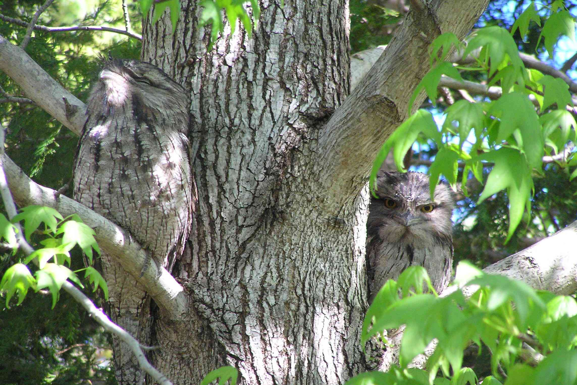 gray tawny frogmouth up against tree trunk lifts head high