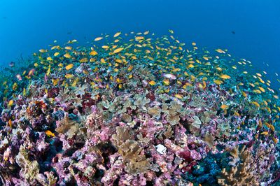 A colorful coral reef teaming with fish in the Maldives.