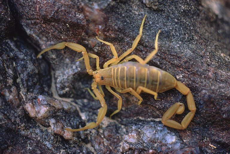 A light-brown scorpion positioned on a tree trunk.