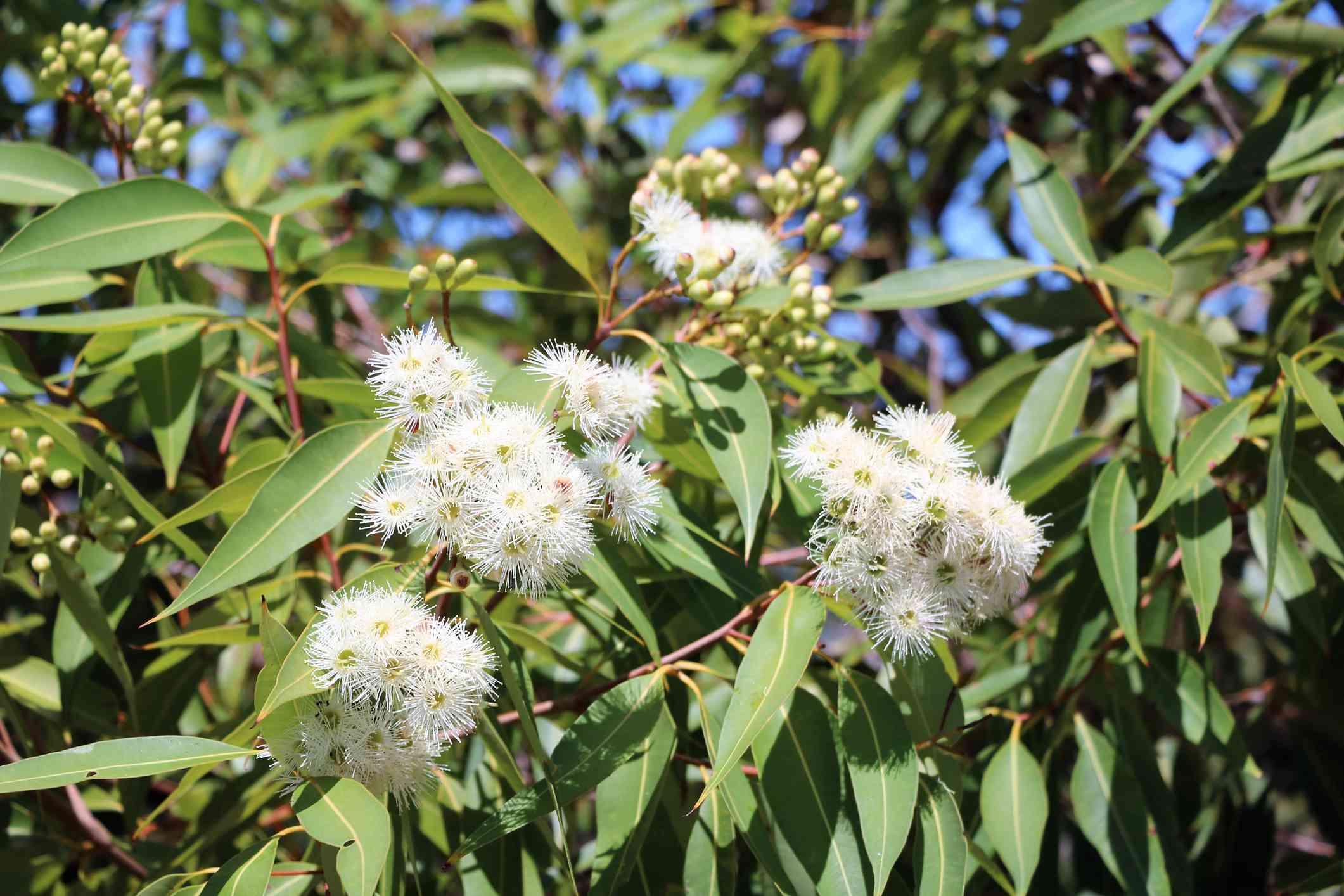 Eucalyptus flowering white in summer in Sydney, Australia