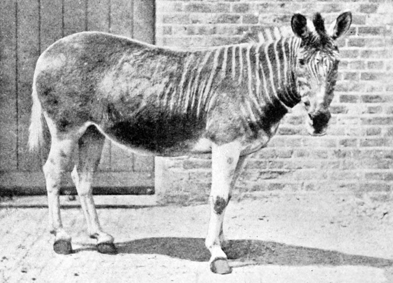Black and white image of a quagga male in an enclosure at a London zoo
