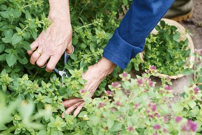 A gardener with scissors harvests oregano.