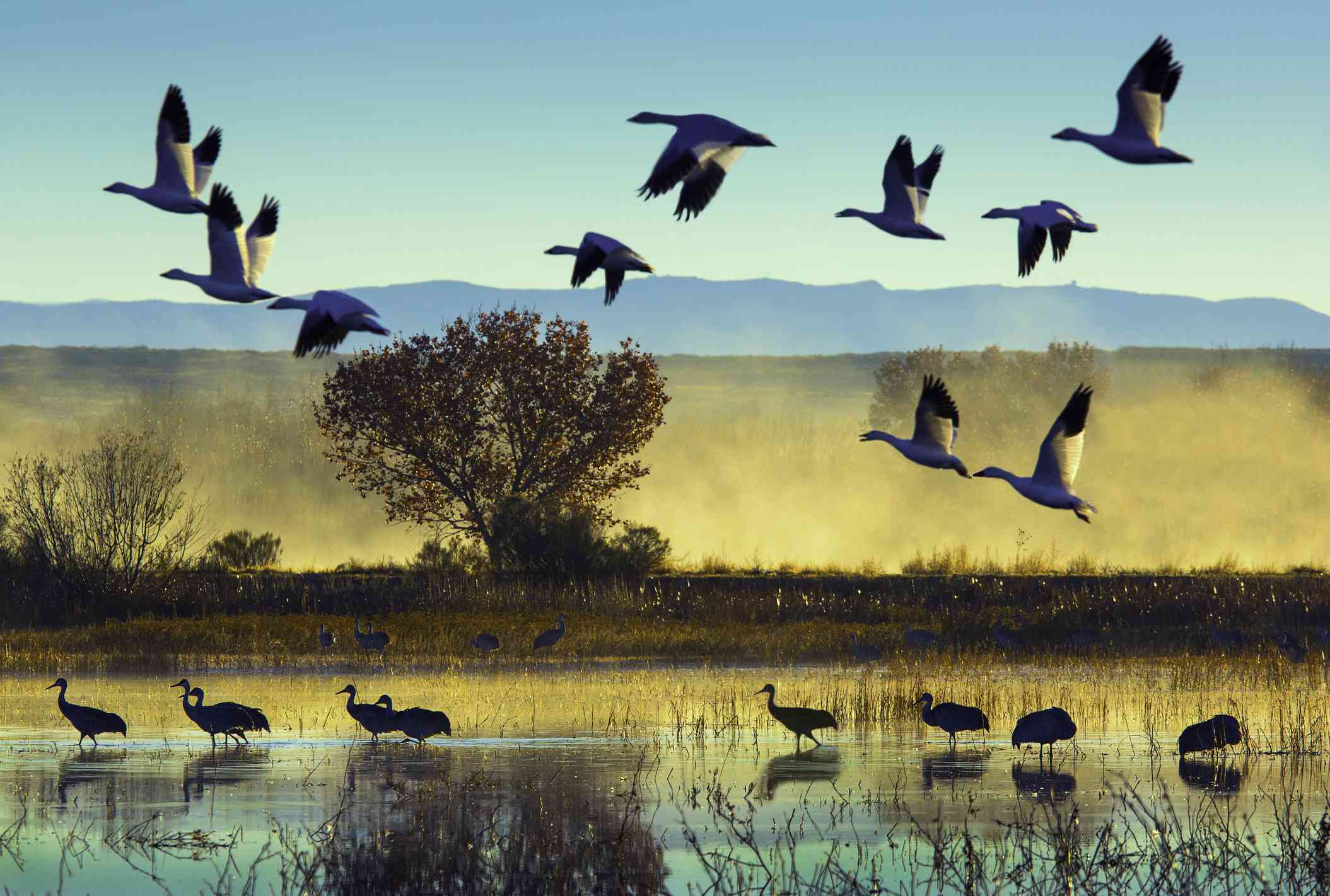snow geese flying in a blue sky at sunrise above sandhill cranes standing in water amid small plants at Bosque del Apache