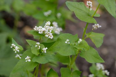 buckwheat plant with small white blossoms and green leaves