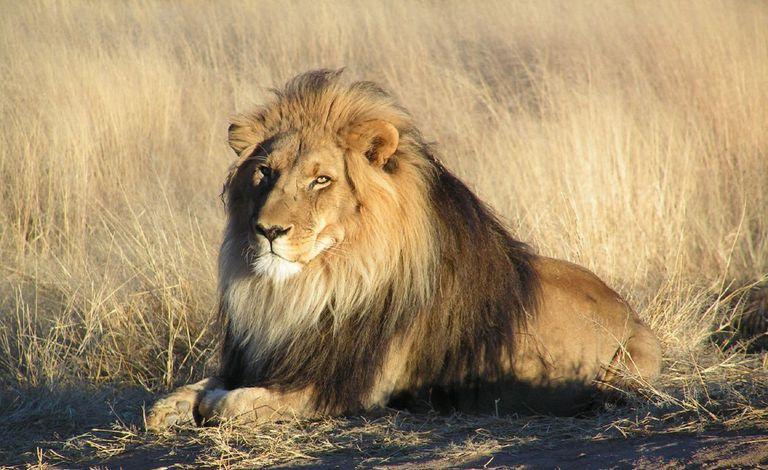 Presunto cazador furtivo comido por manada de leones en Sudáfrica