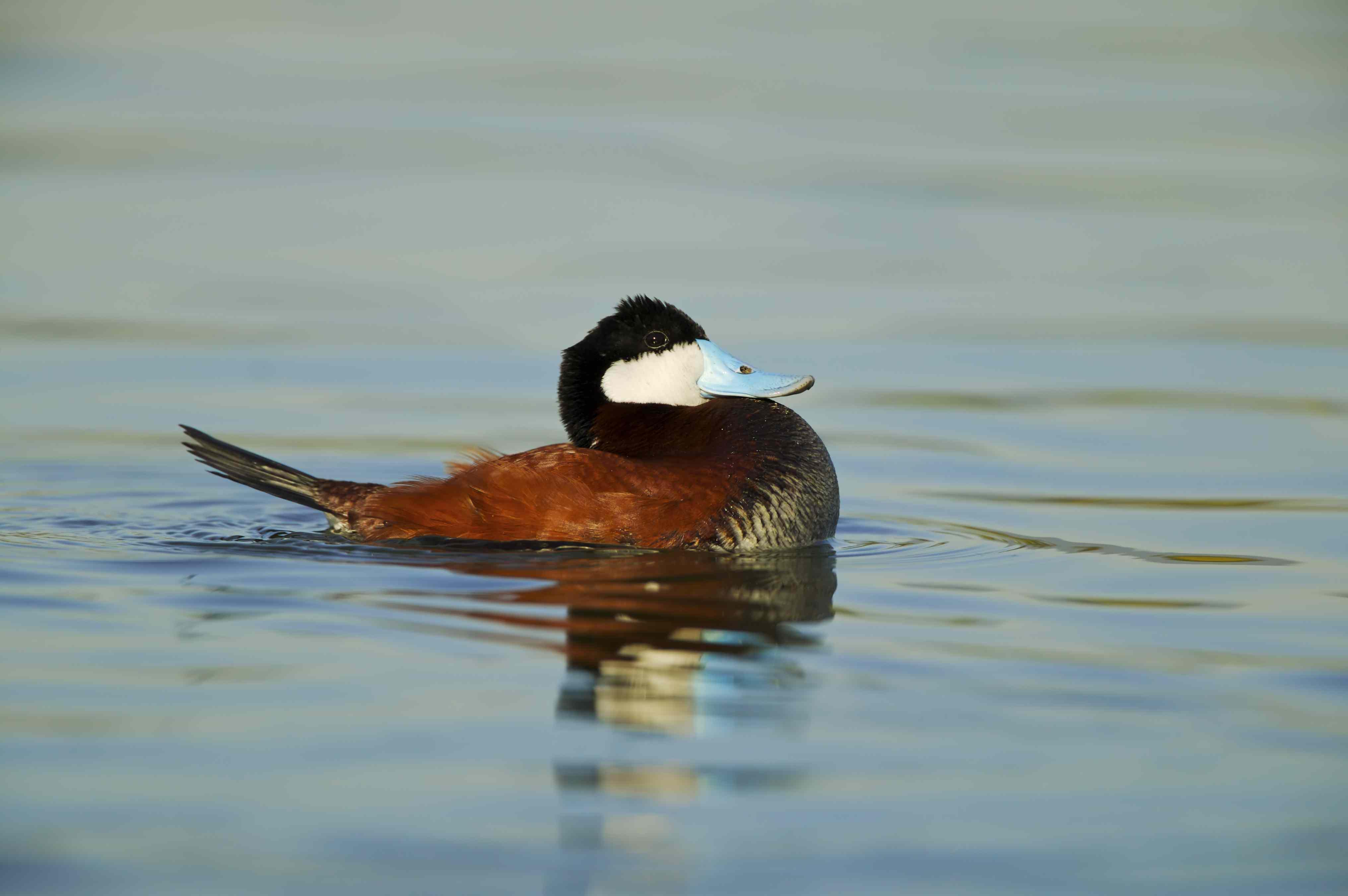 Male ruddy duck in breeding plumage on the water