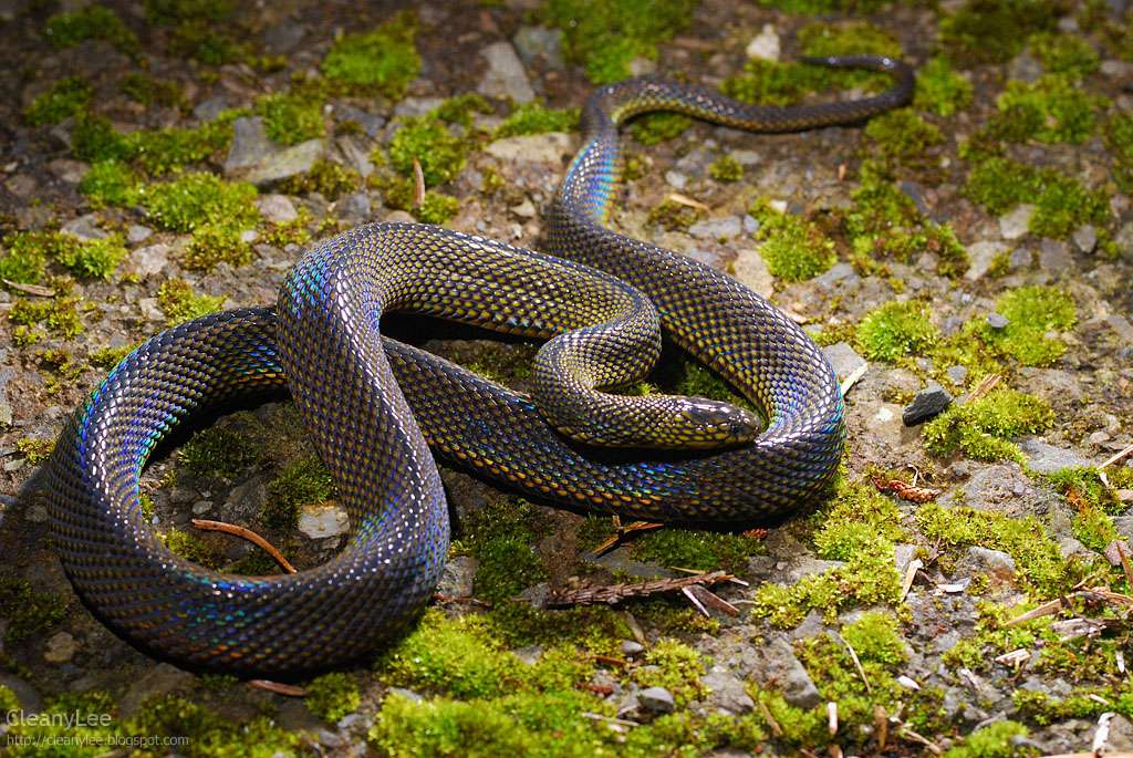 Formosa odd-scaled snake shimmers iridescent under light.