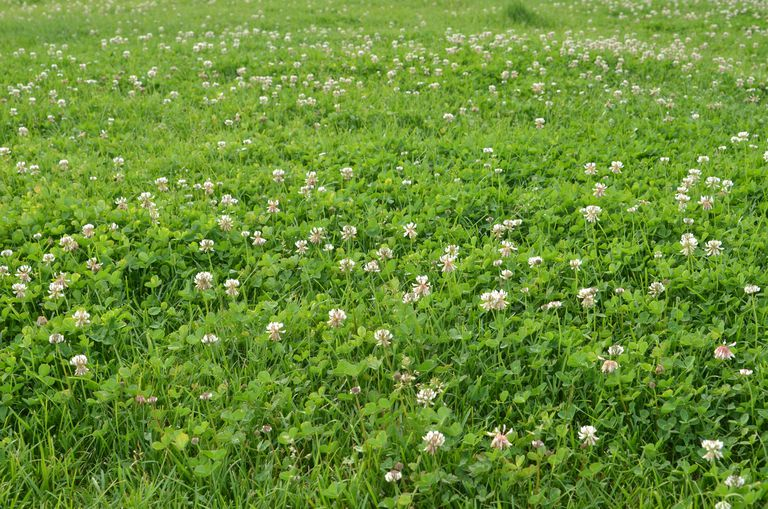Green lawn with white clover