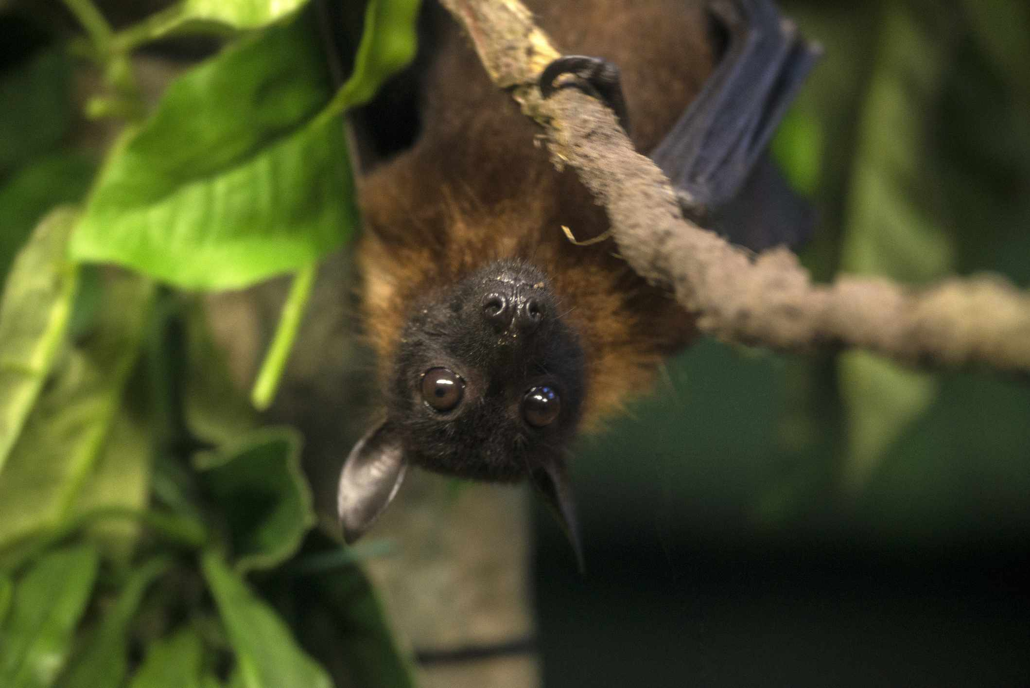 Indian flying fox bat hanging on a branch
