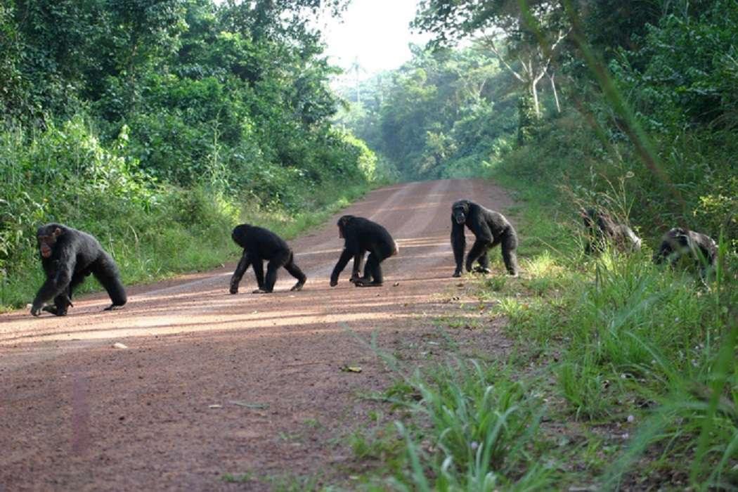 Chimpanzees crossing a road in Bossou, Guinea