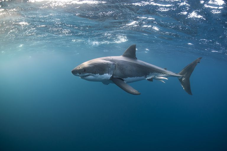 Great white shark swimming near the surface of the water