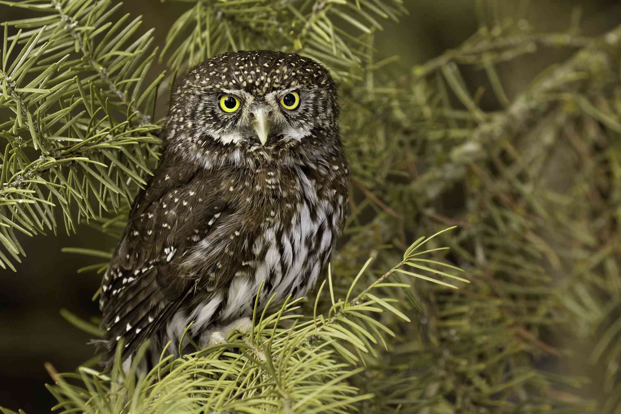 Northern pygmy owl in a tree